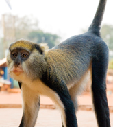 Baobeng Fiema Monkey Sanctuary
